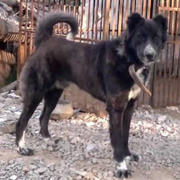 Afghan Tiger Dog