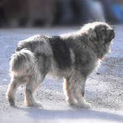 Albanian Shara Mountain Dog