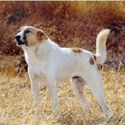 Bedouin Shepherd Dog