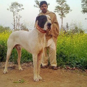 Indian Alangu Mastiff