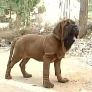 Korean Dosa Mastiff