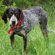 Bluetick Coonhound