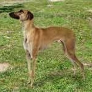 Banjara Greyhound