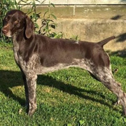 Belgian Shorthaired Pointer
