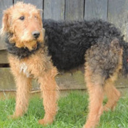 Airedoodle -- Airedale Terrier X Caniche