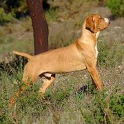 Portuguese Pointing Dog