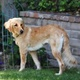 Afghan Retriever -- Lévrier afghan X Golden Retriever