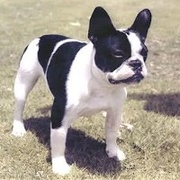 American French Bulldog -- Bouledogue américain X Bouledogue français