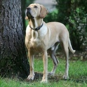 American Gointer -- Golden Retriever X Pointer anglais