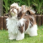 Biro Yorkshire Terrier