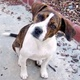 Boglen Terrier -- Terrier de Boston X Beagle