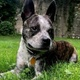 Boston Cattle Dog -- Terrier de Boston X Bouvier australien