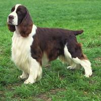Milou mon Chouchou, mon ami - FCI breeds - English Springer Spaniel