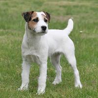 Milou mon Chouchou, mon ami FCI Rassen Jack Russell Terrier