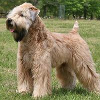 Milou Mon Chouchou Mon Ami Fci Breeds Irish Soft Coated Wheaten Terrier